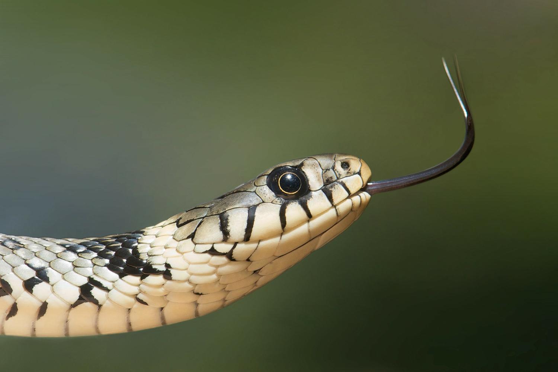 Die Schlangenkönigin
